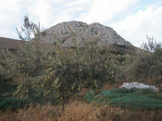 Olive-Harvest-008.jpg