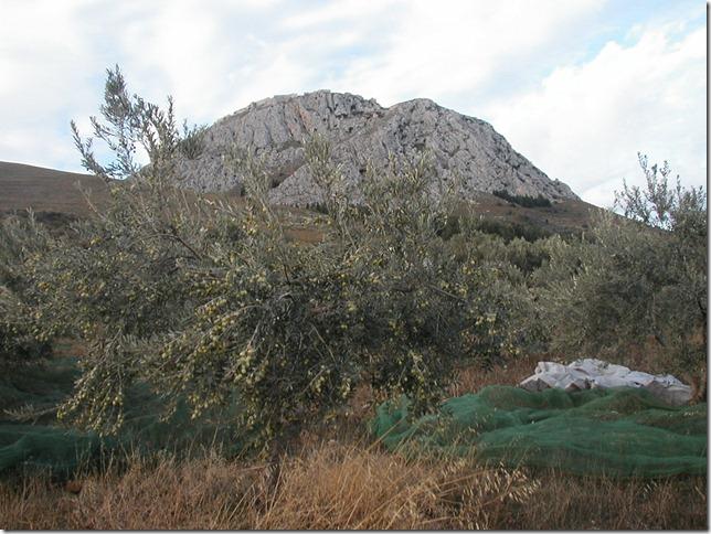 Olive Harvest 008
