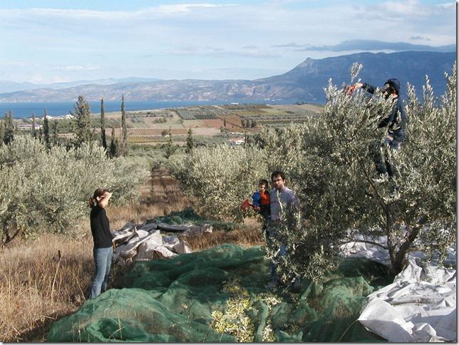 Olive Harvest 014