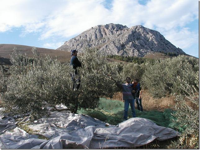 Olive Harvest 020