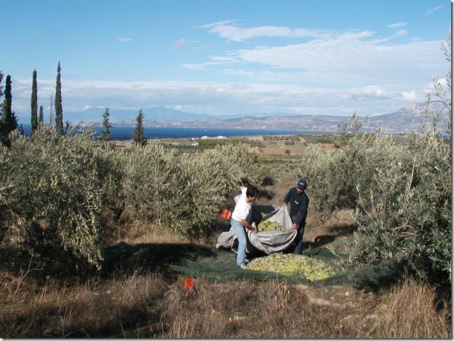 Olive Harvest 026 (CM)