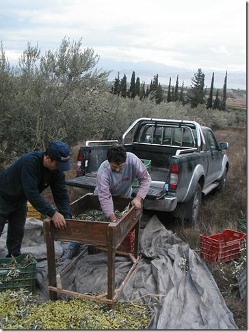 Olive Harvest 042 (CM)