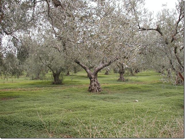 Olive Grove_11-28-04
