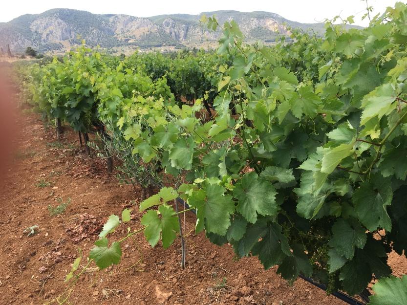 Vineyard on Isthmus